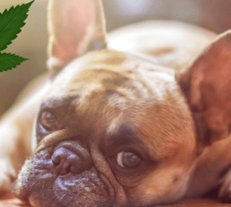 Health Benefits of CBD for Dogs