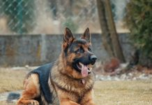 The German Shepherd is an ideal breed of Dog. Apart from its impressive size, to straight ears, dark adorable eyes and intelligent mind