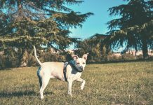 Recommendations for Pit Bulls