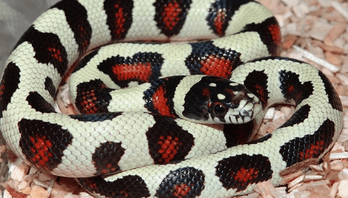 Milk and King Snakes