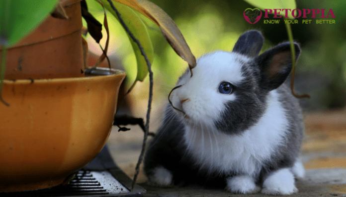 Keeping Rabbits as House Pets
